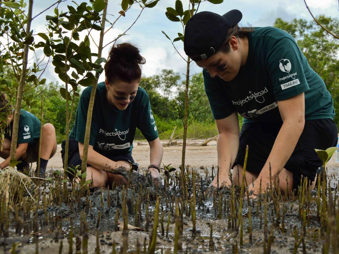 Voluntarios ambientales trasplantando manglares en Tailandia en un programa de voluntariado internacional para jóvenes.